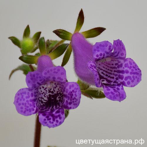 Цветок белый с фиолетовым